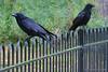 Omen ! (Stephen Whittaker) Tags: film birds nikon 666 crow omen d5100 whitto27