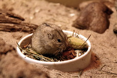 Nom Nom Nom Nom Nom Nom (Anna Mizi) Tags: cute mouse eat nomnomnom mousedinner hightisoshot