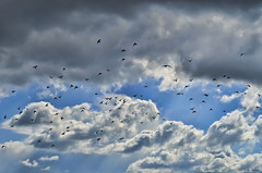 Fly High (_Amritash_) Tags: blue sky birds silhouette clouds high flock bluesky traveller catch nikkor drama flockofbirds dramaticclouds londonsky birdsilhouettes nikond7000 amritash