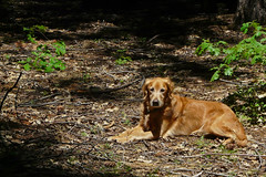 SunDog (Vurnman) Tags: dog home goldenretriever spring backyard baxter byd