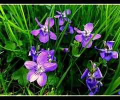 VIOLA MAMMOLA (sigma18 (Mauro)) Tags: flower primavera nature grass spring natura fiore viola prato mammola photographyforrecreationeliteclub celebritiesofphotographyforrecreation photographyforrecreationclassic celebritiesphotographyforrecreation
