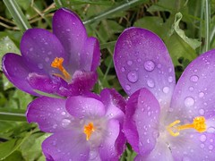 Cool Clear Water (mcginley2012) Tags: orange droplets petals drops purple crocus stamen raindrops waterdrops nokian8