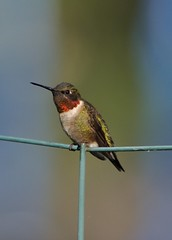 Ruby-throated Hummingbird - Archilochus colubris (kttyhwkr (Might Delete Soon)) Tags: bird nature backyard nikon texas wilsoncounty rubythroatedhummingbird archilochuscolubris lavernia d5000