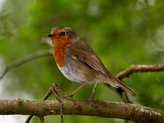 Yet another.....E5131361revS (Preselector) Tags: robin erithacusrubecula rspbmiddletonlakesolympuse3