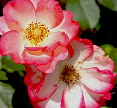 Betty Boop rose (justusfoto) Tags: color rose yard aj louisiana may double bettyboop picmonkey:app=editor