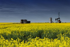 Black Gold in a Field of Yellow Canola (katsrcool (Kool Cats Photography)) Tags: blackgold yellow yellowflowers field energy oklahoma oilfield oil tamronaf18270mmf3563diiivcpzdldlens traveloklahoma americaslifesblood usa pumpjack pumping pumper industry producer oilindustry tank tamron18270mm3563pdzlens canont3i yabbadabbadoo heartland