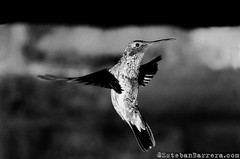 (Esteban Barrera) Tags: bird quito ecuador hummingbird pjaro colibr