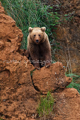 (Irantzu Arbaizagoitia) Tags: life bear family baby brown cute nature animal rock stone female fur fun mammal outdoors zoo cub big paw rocks wildlife small young claw strength care protection playful litle zoology cabarceno whelp