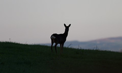 early morning deer (ritchiecam) Tags: nature canon scotland wildlife deer 7d 400mm