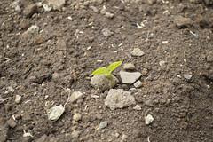Rocks can not stop me (Louie GA) Tags: life flora rocks earth birth growth soil vida approved piedras crecimiento tierra crecer