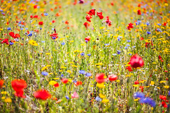 Wild Flower Patch, Cardiff Bay (Geraint Rowland Photography) Tags: uk wild summer flower nature wales canon bokeh cardiff 85mm poppies wildflowers redflowers shallowdepthoffield wideaperture blueflowers booked cardiffbaybarrage welshpoppies geraintrowlandphotography visitcardiffbay visitcardiff