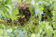 110816Morro d' Oro23 (emanueleronchi) Tags: abruzzo morrodoro esterni uva vacanze viti