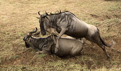 Wildebeest Jumps over Another which Fell in the Rush from a Mara River Crossing (John Hallam Images) Tags: wildebeest jumps over jumpsover another fell rush mara river crossing masaimara kenya safari