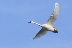 Tundra Swan AAA (martinaschneider) Tags: swan tundraswan spring aylmer bird ontario flight flying birds bluesky