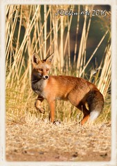 Zorro rojo (Vulpes Vulpes) (JORGE AMAYA BUSTAMANTE - JAKKEMATE) Tags: jakkemate nikond500 sigma150500 jorgeamayabustamante zorrocomún vulpesvulpes zorrorojo