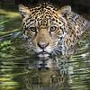 LIquid Jaguar (Penny Hyde) Tags: bigcat jaguar reflection sandiegozoo swimming water flickrbigcats