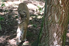 Luchs (c4harry) Tags: wald chattengau kosystem kellerwald edersee wildtierpark luchs