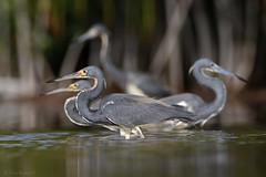 Garza Tricolor (Egretta tricolor) - Tricolored Heron (Dax M. Roman E.) Tags: garzatricolor egrettatricolor tricoloredheron daxroman