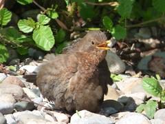 Blackbird (Puerto De Liverpool.) Tags: turdusmerula europeanblackbird britishbirds thrush blackbird female birds bushes rocks nature wildlife ormskirk liverpool