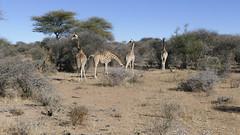Namibia 2016 (Stefan Giese) Tags: namibia afrika africa panasonic fz1000 giraffe giraffen tier tiere animal wildlife