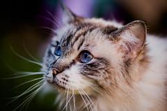(sismastery) Tags: canon 6d 135mm f2l ragdoll cat blue eyes 135mmf2l canon6d