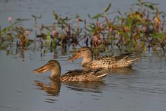 Shoveler. (stonefaction) Tags: birds nature wildlife scotland fife shoveler duck letham pools