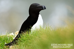 Razorbill (Steve Moore-Vale) Tags: razorbill alca torda rspb bempton cliffs bird wildlife aves avian sea auk nature united kingdom yorkshire grass portrait alcidae