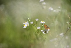 Incerta. (SimonaPolp) Tags: butterfly summer nature bokeh august sanpietroinlucone canon daisy daisies bug flowers