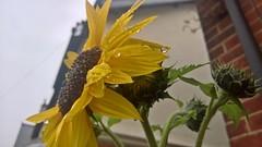 Camberley 19 September 2016 036 (paul_appleyard) Tags: sunflower rain water droplet droplets drops camberley september 2016 lumia 950