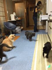 """Outa my way!"" (sjrankin) Tags: 27august2016 edited animals cats assam argent bonkers norio family naomi gif animatedgif kitchen yubari hokkaido japan"