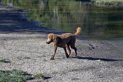 2738 (Jean Arf) Tags: ellison park dogpark rochester ny newyork september autumn fall 2016 poodle dog standardpoodle gladys pond