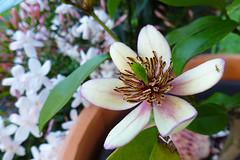 Michelia coco (dgardenia) Tags: rose flower macro outdoor garden nature springbulbs insect bee jasmine iris camellia ranunculus potplant