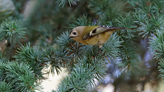 GoldCrest in dim light (forest) (Franck Zumella) Tags: roitelet huppe goldcrest petit leger minuscule crete jaune small bird