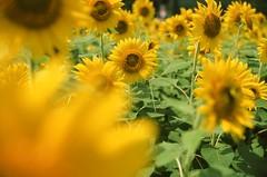 0910 #9 PROVIA100F-43260024 (tsukasa*) Tags: project365 ainikkor35mmf14s rdpiii catchycolors yellow
