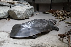African Softshell Turtle (praja38) Tags: smooth carapace shell large caps capricorn humour life wild wildlife african nile nilesoftshelledturtle reptile nature toronto zoo ontario canadian canada africansoftshelledturtle turtle