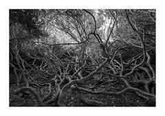 twisted 2 (ciollileach) Tags: tree twisted mono blackandwhite branches tangles