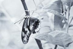 monochrome dryas iulia (johngpt) Tags: fujifilmxt1 fujinonxf55200mmf3548rlmois niksilverefex abqbotanicgardens butterfly butterflypavilion juliadryasiulia sliderssunday hss