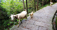 Who let the goats out? (Eye of Brice Retailleau) Tags: animal animaladdiction animals asia colourful colours composition countryside earth extrieur fauna nature outdoor scenery scenic travel flanc goat family china huangshan path