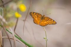 Last Butterfly of Summer (PhillymanPete) Tags: summer fritillary variegatedfritillary butterfly nature flower palmyracovenaturepark insect orange wildlife palmyra newjersey unitedstates us nikon d800e