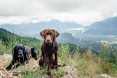 chase-roam-brohm-050716-ajbarlas-7448.jpg (A R D O R) Tags: ajbarlas ardorphotography chase dogs puppy roam