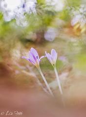 Colchicum autumnale - szi kikerics (lizfoto27) Tags: colchicumautumnale flowers flower autumn photography nature naturelovers bokeh m42 manualphotography canon szikikerics virg beyondbokeh