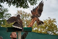 Greifvogelschau (NefShooter) Tags: eagle ostalb lorch adler greifvogel