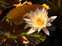 Lily Pond (ZoK) Tags: serene pond lilypads lily gardens nature manhattan newyork centralprk centralparkconservancygardens franceshodgsonburnett burnettsecretgarden secretgarden
