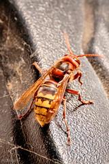 Schlaf gut Hornisse. (UsualRedAnt) Tags: makro gelb tamron70300mm waldau insekt thringen rot deutschland tier f90 canon natur hornisse germany