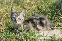 Blue (dfromonteil) Tags: cat chat chaton katz flin felino rayures stripes ears oreilles animal nature grass herbe vret green bokeh eyes yeux expression