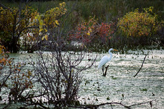 Crane (brian_barney9021) Tags: marsh trees water clouds wildlife nikon d3200 bird photography watching crane white nature