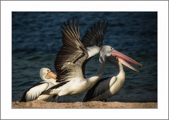 Cleared for take off (Chas56) Tags: wildlife pelican pelicans fauna birds birdlife waterbirds beach wings light shadows canon canon5dmkiii stleonards trio three threes feathers animal border photoborder ngc