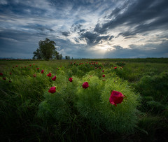 Pastel colors of the sunset... (emil.rashkovski) Tags: peony wild peonies sunset landscape bulgaria tree sky clouds spring springtime green red outdoor nature sun pastel