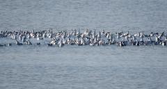IMG_0023x (gzammarchi) Tags: italia paesaggio natura ferrara lidodispina parcodeltadelpo oasi vallesina lago animale anatra stormo monocrome