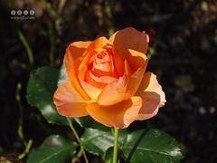 Rose im Herbst in Oberschwaben/Deutschland -   Rose in autumn in Upper Swabia / Germany DSC02547 (warata) Tags: 2016 deutschland germany sddeutschland southerngermany schwaben swabia oberschwabenupperswabia schwbischesoberland badenwrttemberg blume pflanze blte flower fleur frucht rose rosa